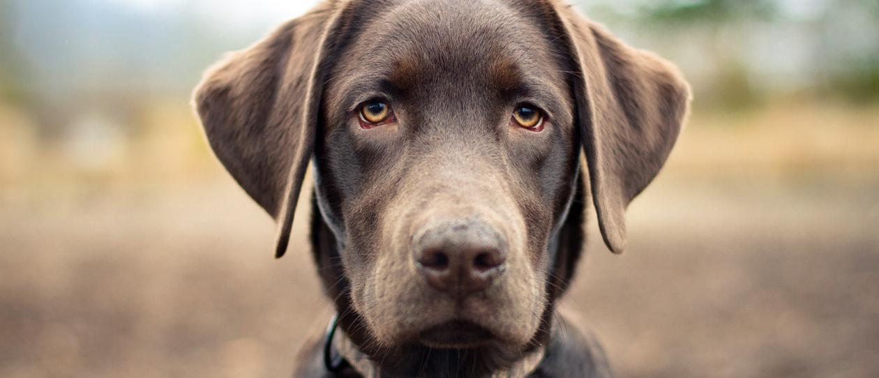 breed-of-the-month-labrador-main