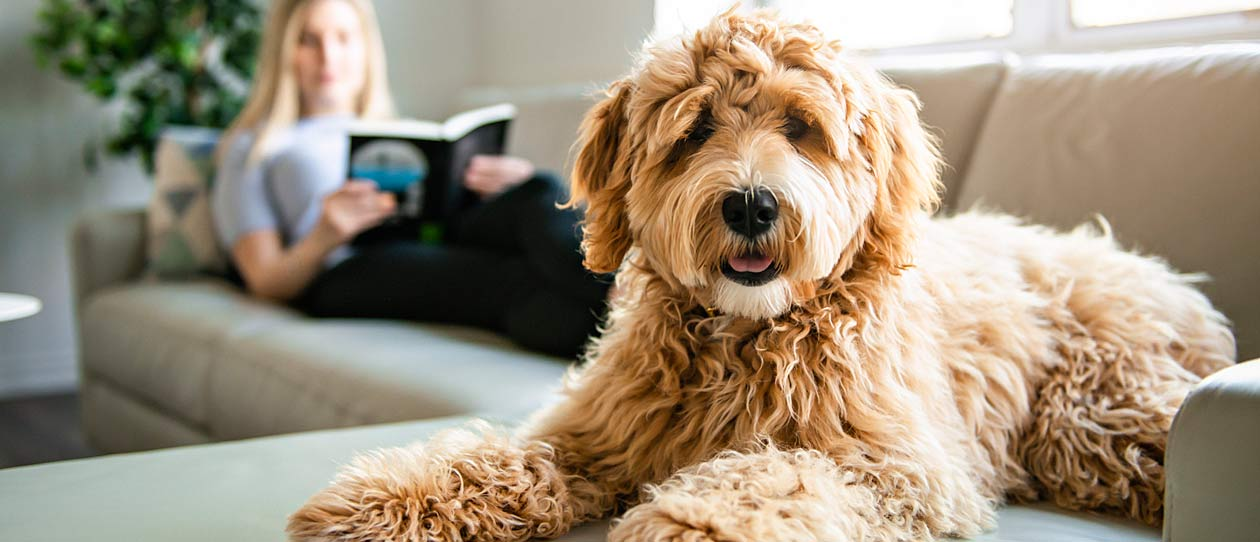 Golden labradoodle sitting on the couch with it's owner, a young woman, sitting in the background reading a book