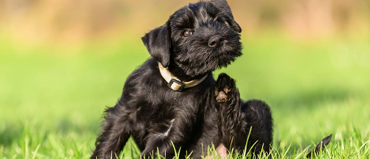 Black puppy dog scratching itself in the grass