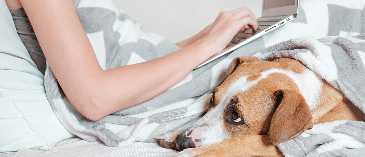 Dog looking anxious lying in bed with it's owner who is working on her laptop