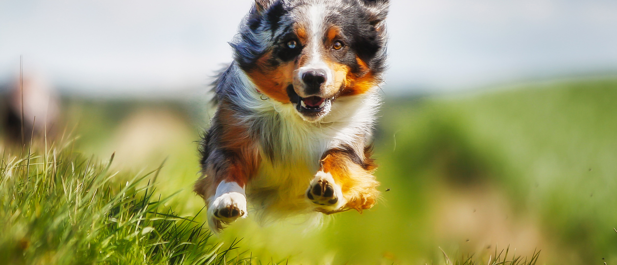 osteoarthritis-in-dogs-main