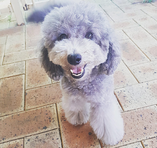 River The Rescue Toy Poodle Blackmores