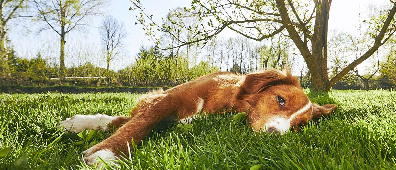 Ginger and white dog lying on it's side on the grass in the sun