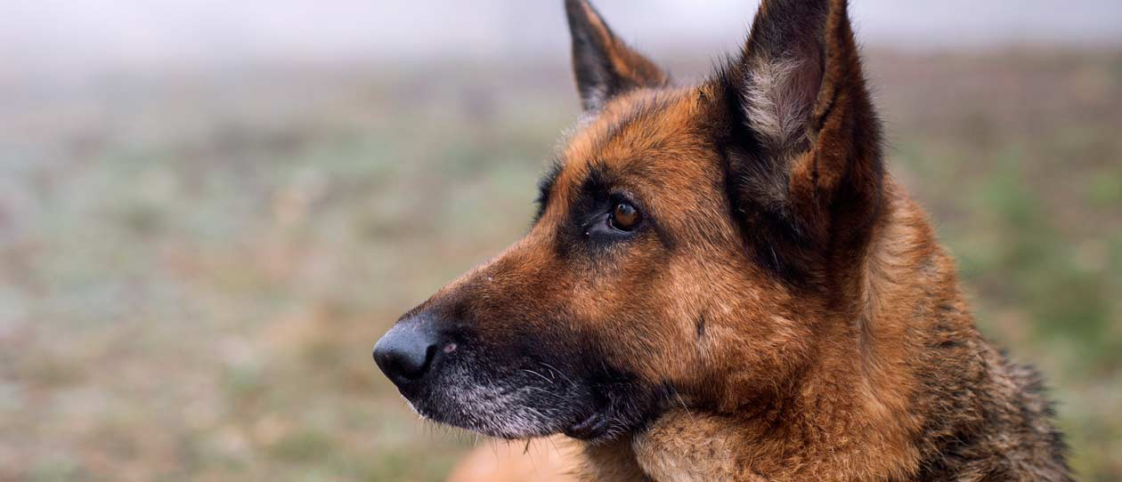 Talking breeds - German Shepherds
