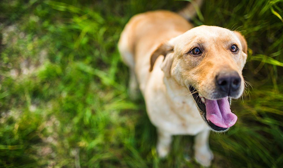 Labrador dog smiling - PAW by Blackmores