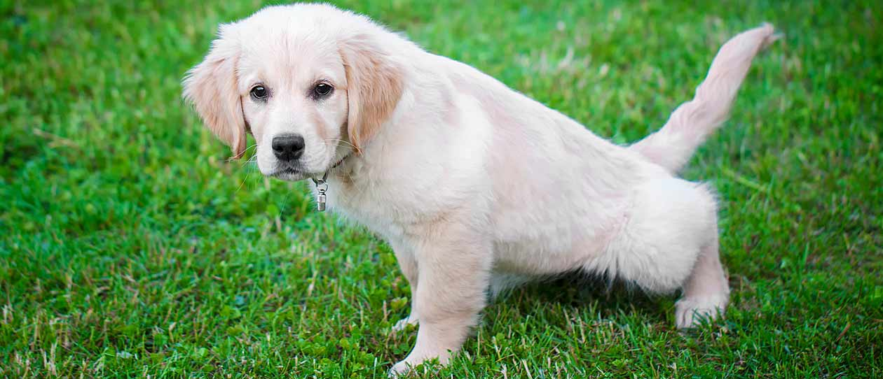 your-guide-to-puppy-toilet-training-main