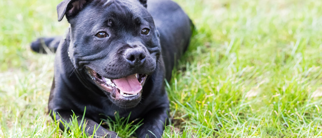Breed-of-the-month-Staffordshire-Bull-Terrier-main