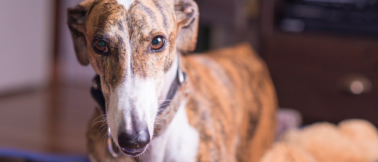 rescue-of-the-month-august-greyhound-main