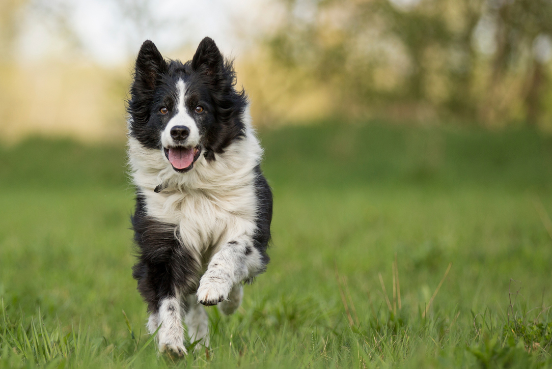 The 10 Best Dog Breeds For Running Blackmores